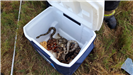 Snakes from Overturned Vehicle